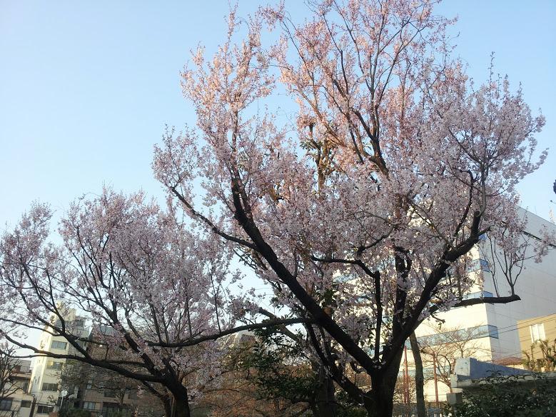 日暮里南公園の桜